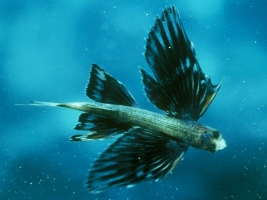 Flying Fish - Exocoetidae | Sassy J
